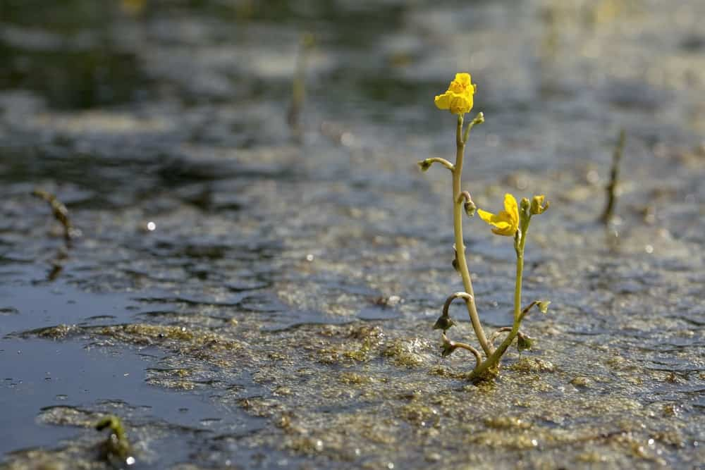 A cluster of bladderwort at a pond.