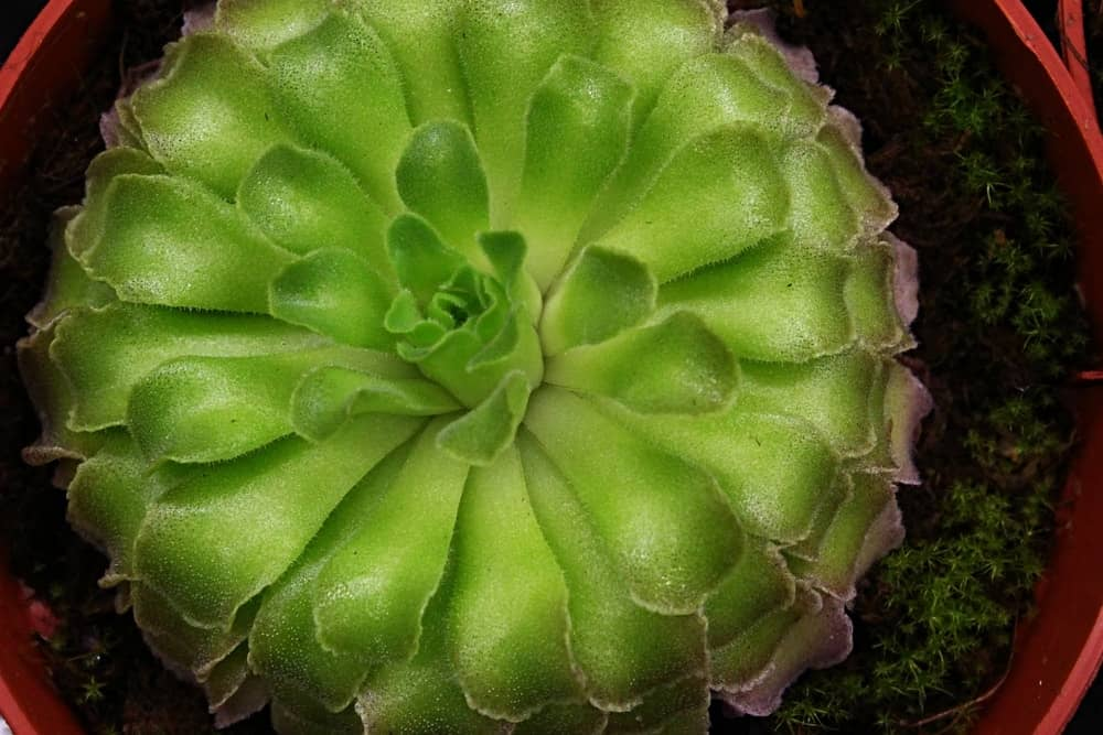 This is a close look at a potted carnivorous corkscrew plant.