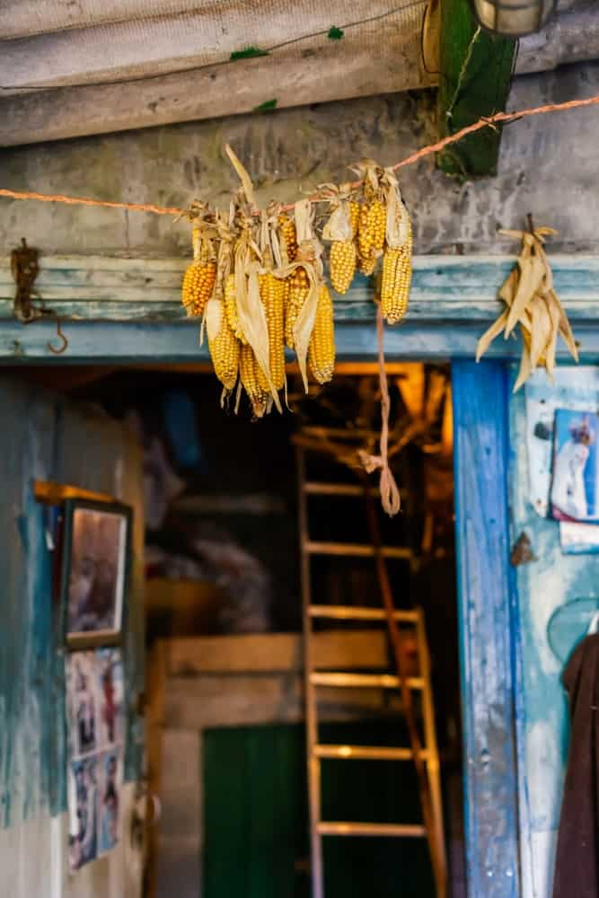 A bunch of corn are hung for preservation.