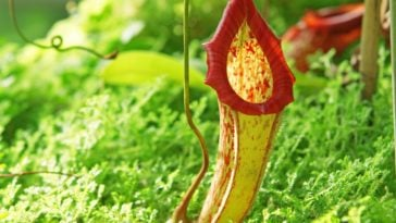 A close look at a nepenthe carnivorous plant.