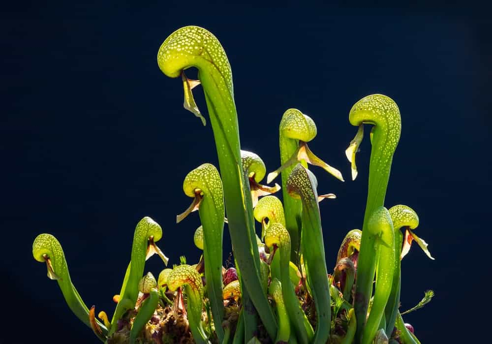 A cluster of cobra lily that lures insects.
