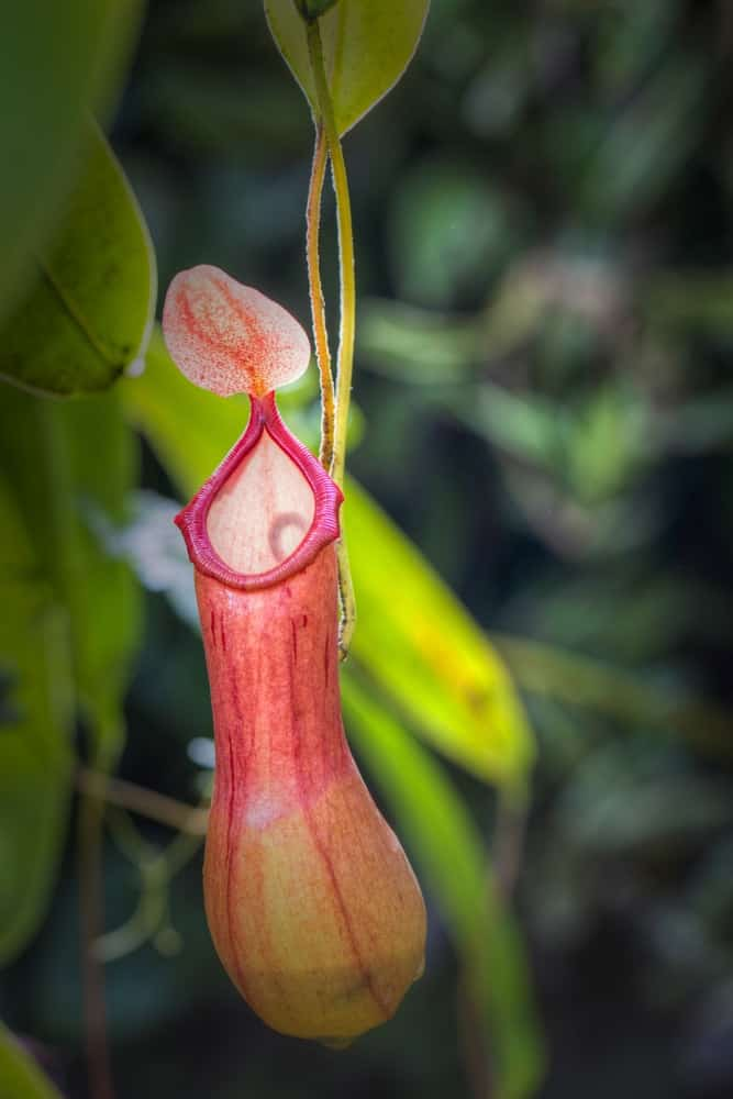 A close look at a tropical carnivorous plant with a pitcher-like shape.