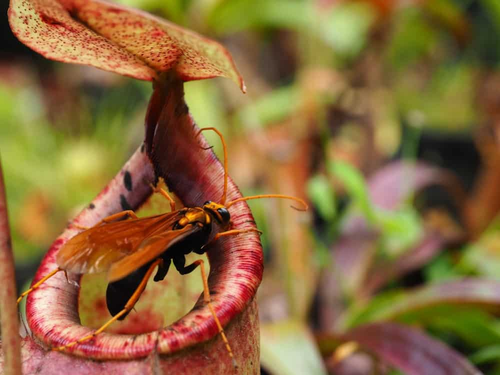 A look at the pitcher plant with a large wasp about to be trapped.