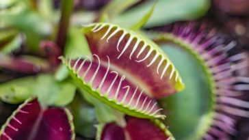 This is a close look at a carnivorous snap trap plant.