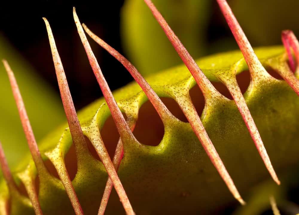 This is a close look at a venus flytrap.