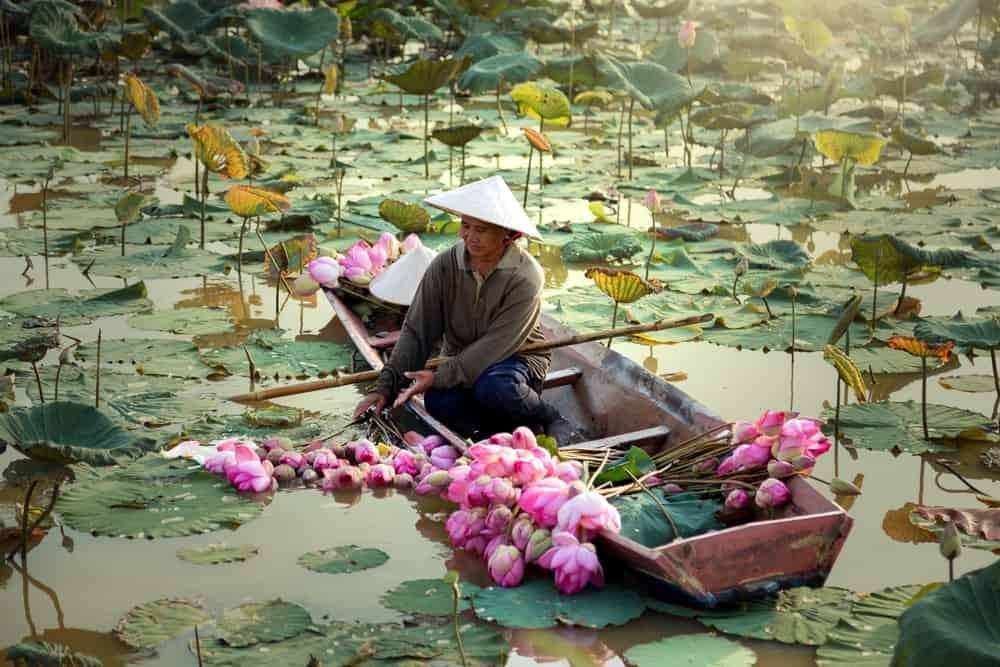 A woman harvesting Lotus flowers.