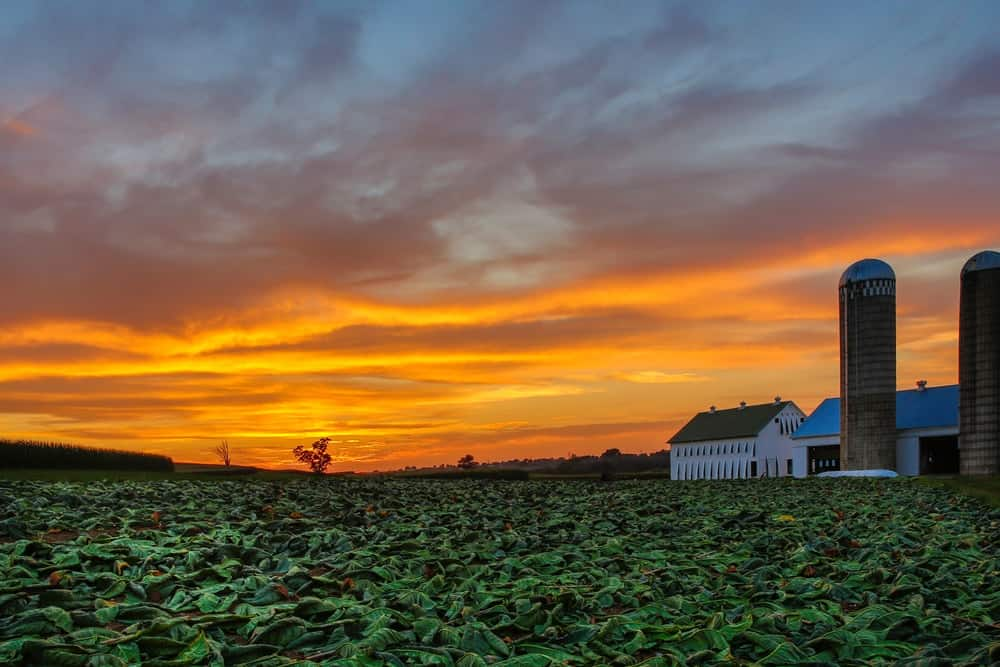 A sunset view of a tobacco farm from the vantage of the field.
