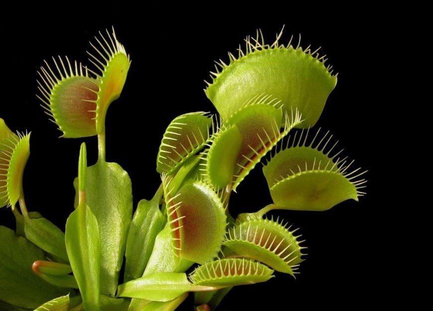 A look at a venus flytrap against a dark background.