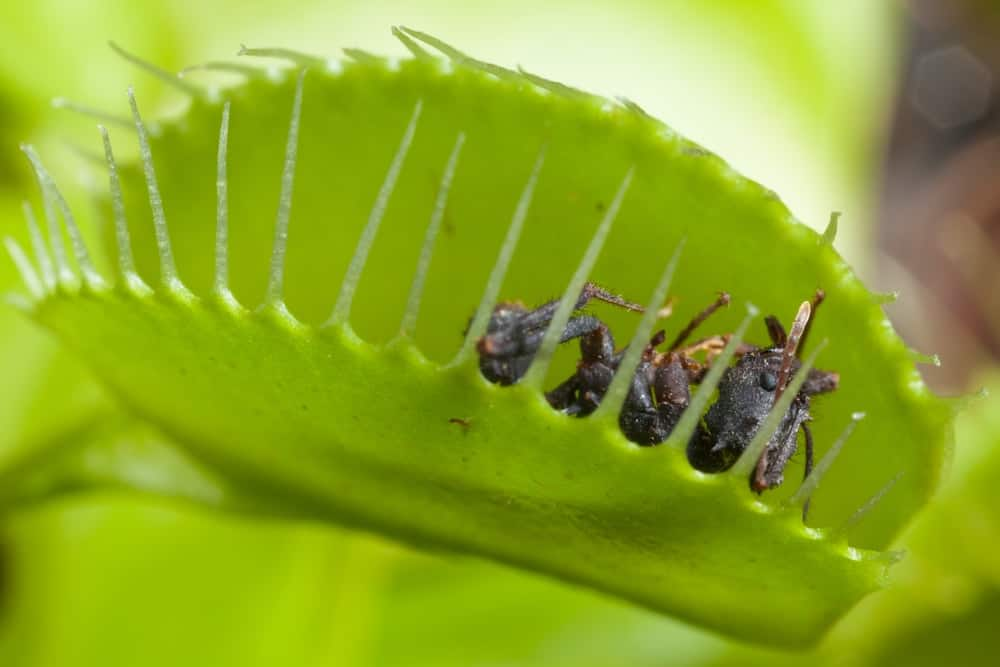 A close look at a venus flytrap with a fly inside.