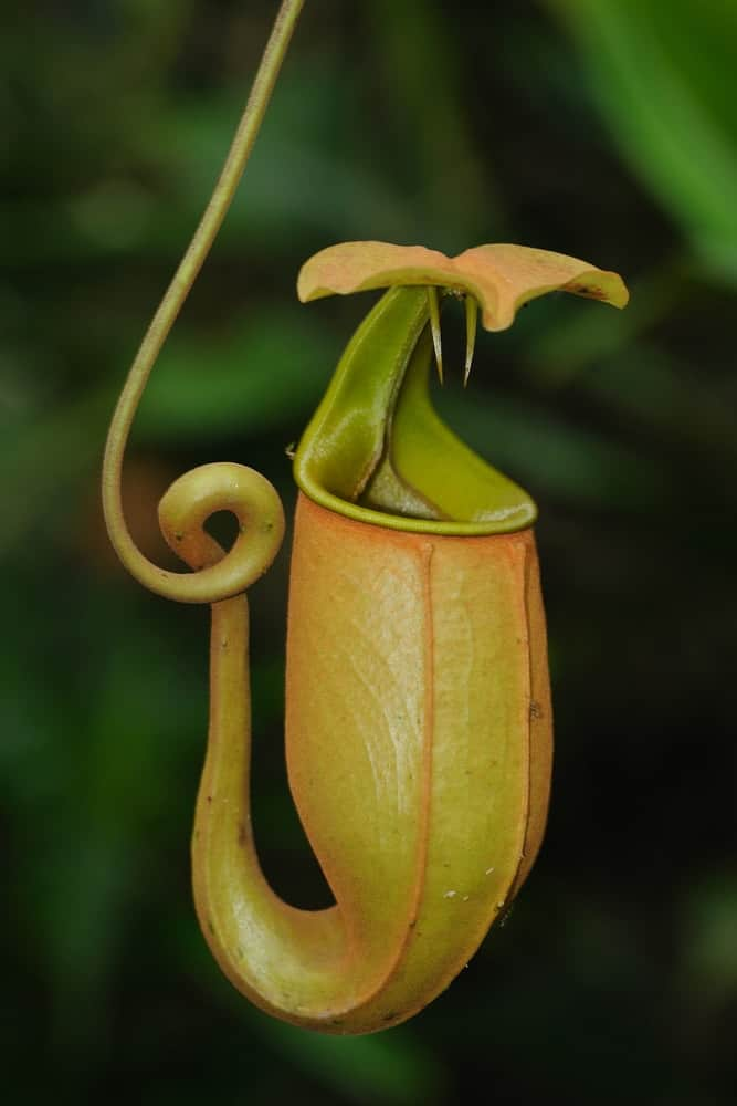 A close look at the carnivorous nepenthes flower.