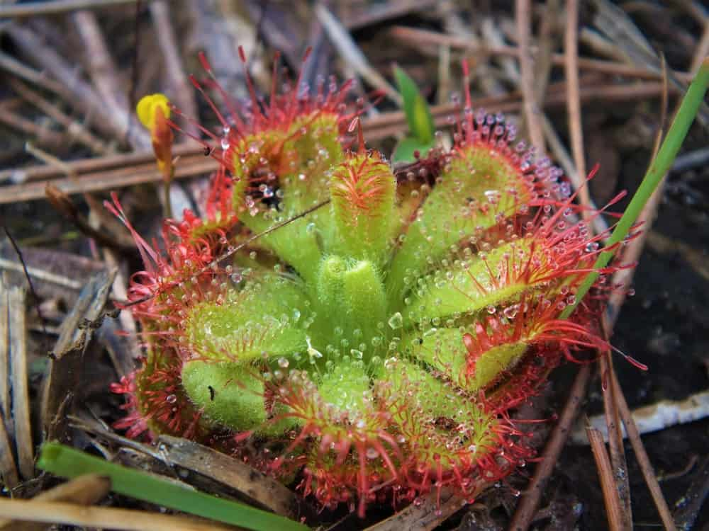 This is a close look at a carnivorous sundew flower.