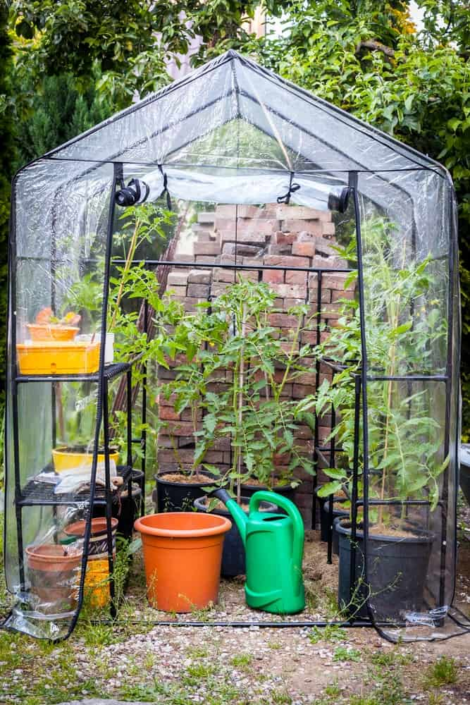A small backyard greenhouse with tomatoes.