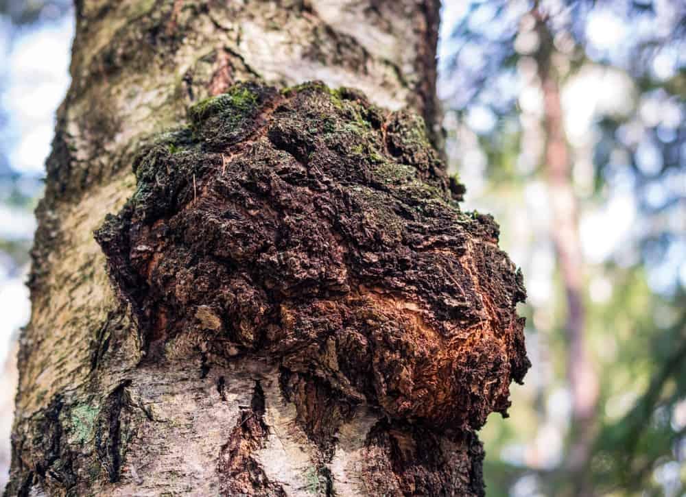 A close look at a large chaga mushroom.