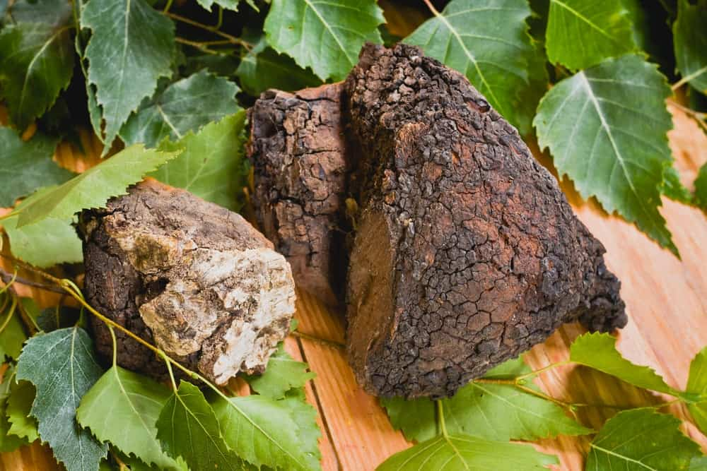 Chaga mushrooms removed from a tree.
