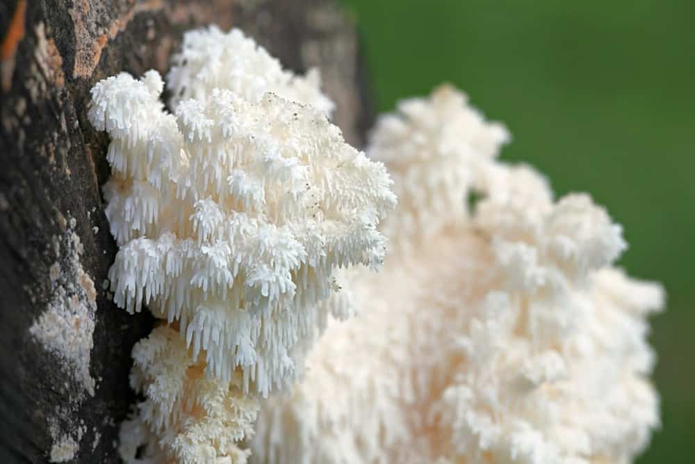 Lion's Mane fungus growing on a tree.