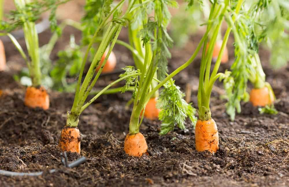 A close look at fresh carrots ready to be harvested.