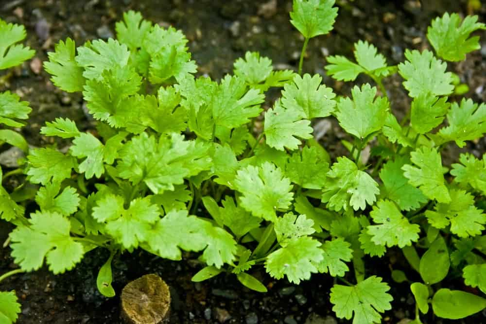 Clusters of Cilantro growing on soil.