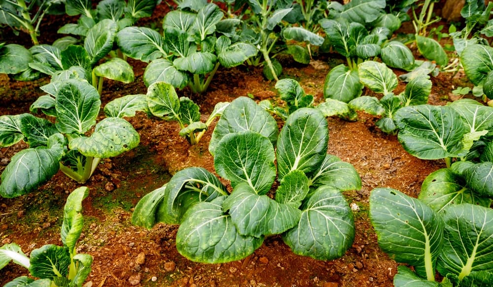 A close look at fresh organic collards ready to be harvested.