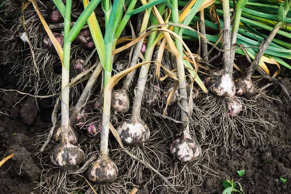 Clusters of fresh garlic newly harvested.