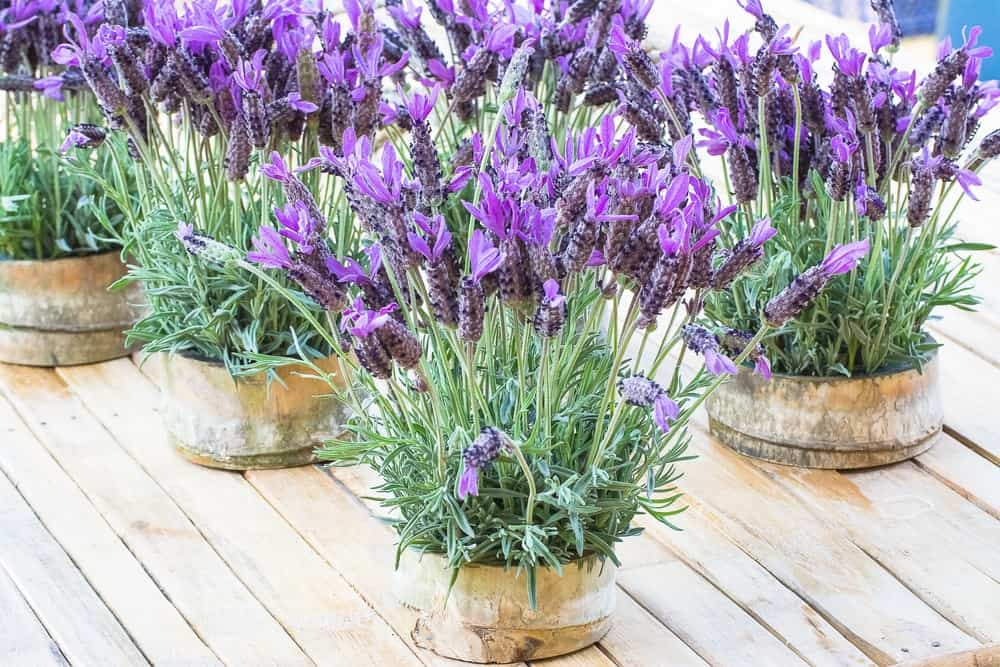 Clusters of potted lavenders on a wooden table.