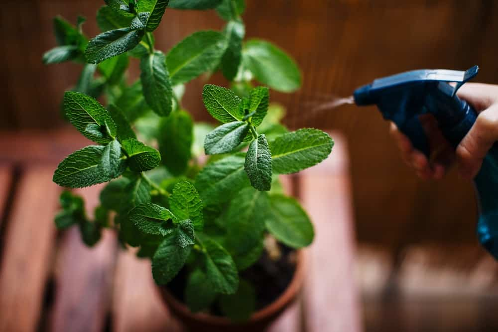 A close look at a potted mint plant being watered.