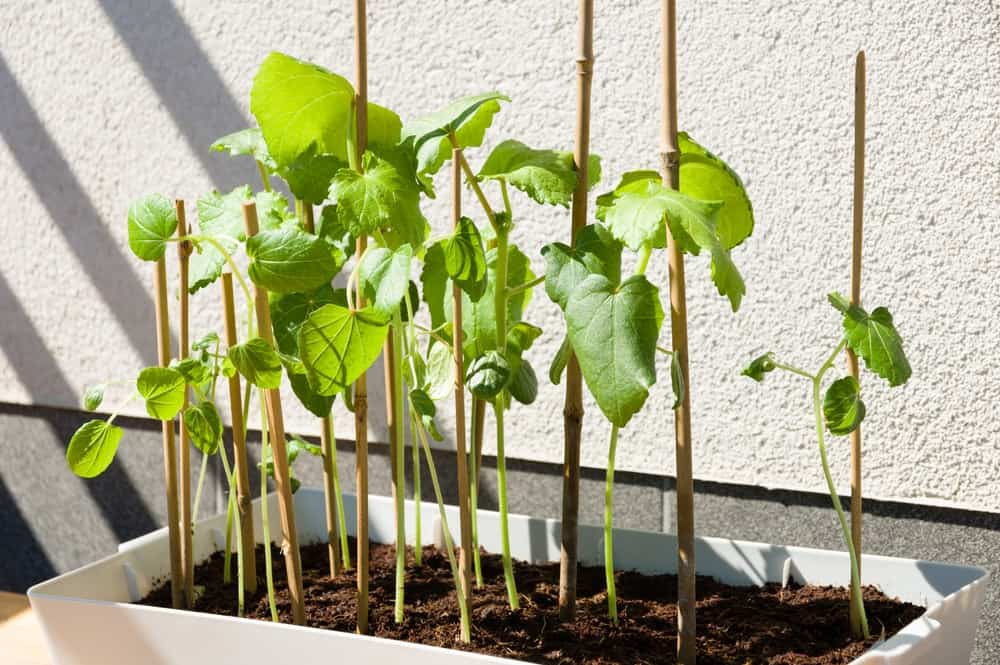 Fresh okra growing on a planter.