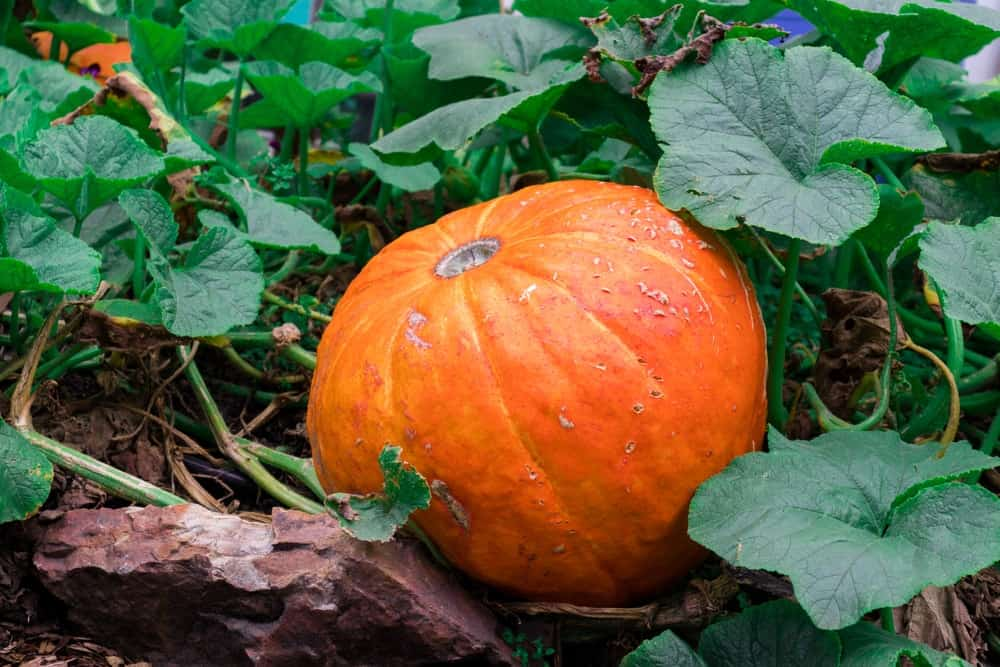 A close look at a ripe pumpkin ready to be harvested.