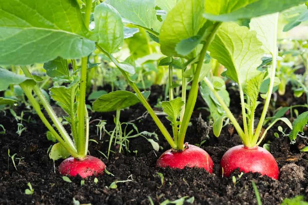 A few fresh radish growing on healthy soil.
