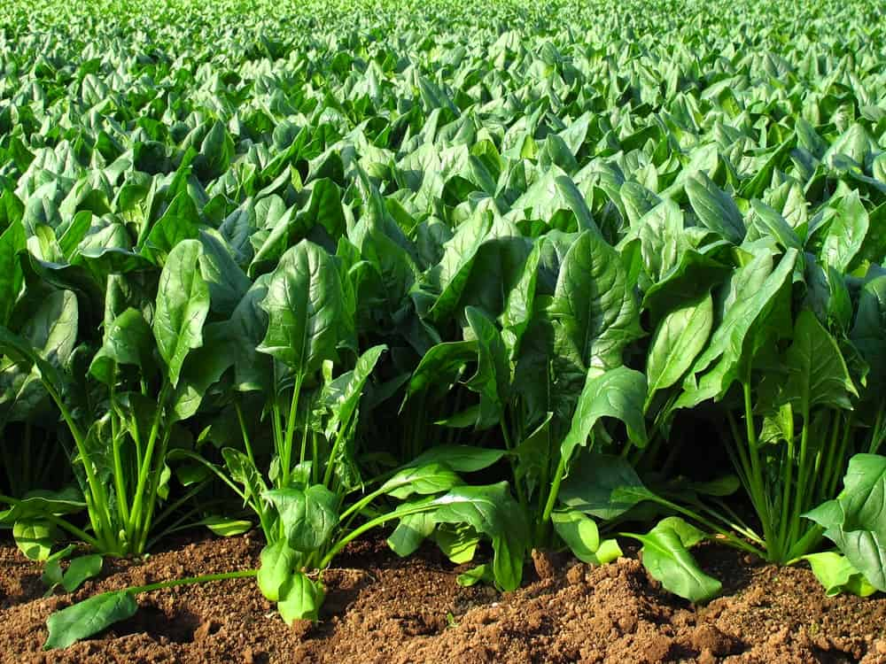 A field of fresh spinach.