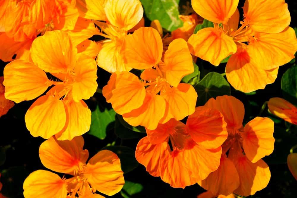 A close look at orange nasturtium flowers.