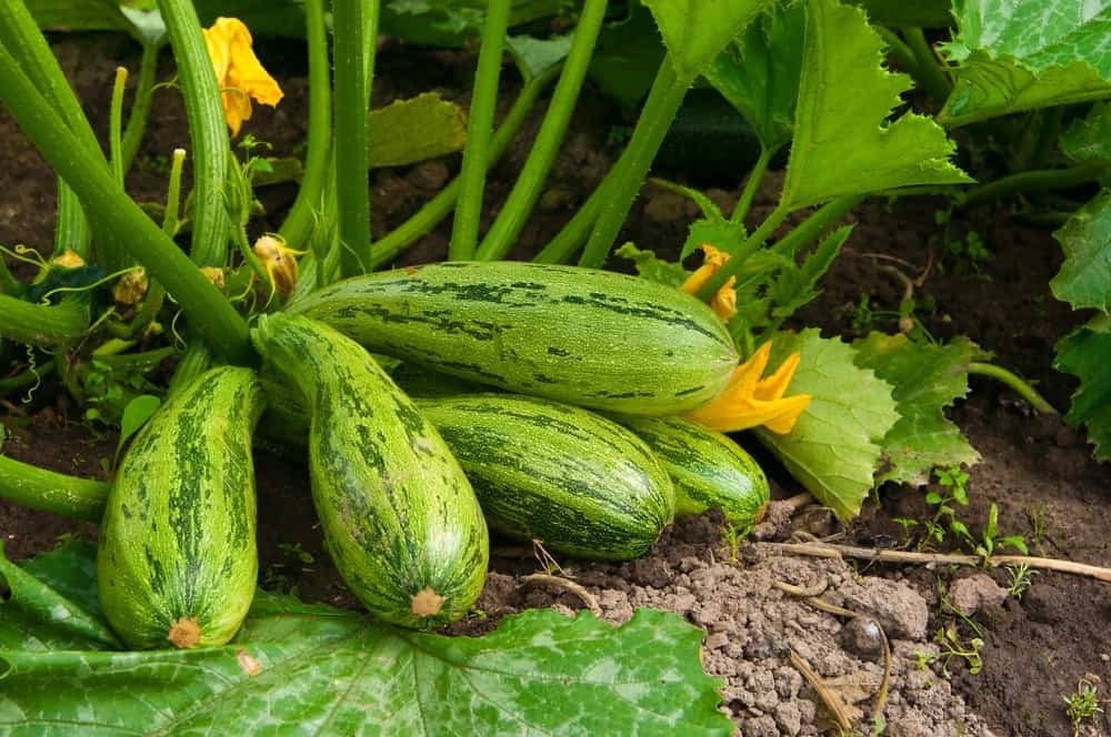 A close look at freshly-harvested squash.