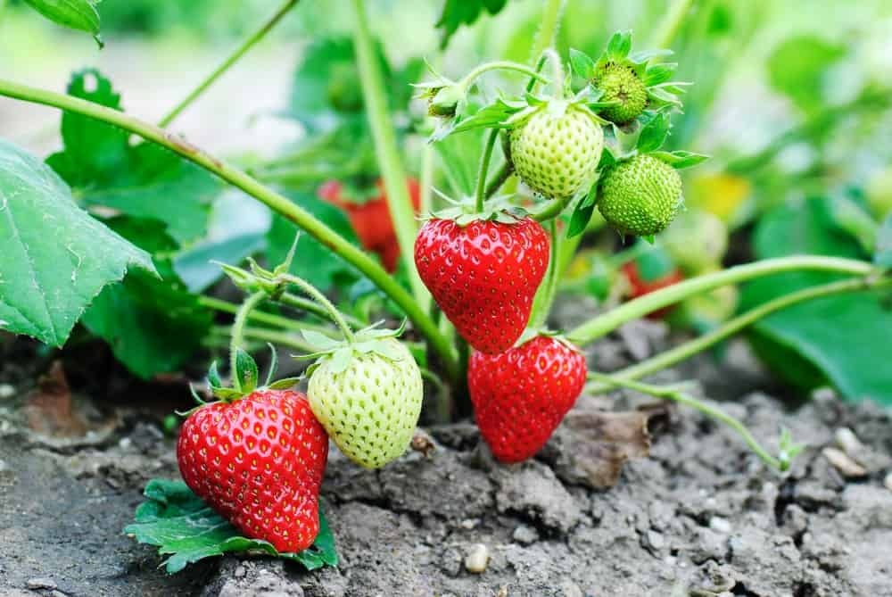 A cluster of fresh strawberries.