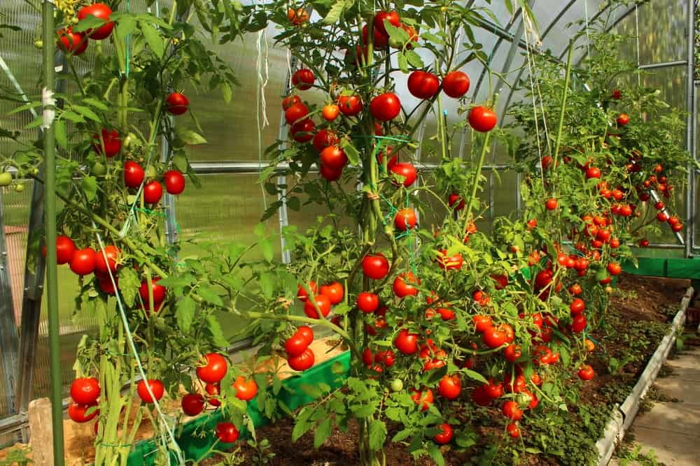 An abundance of tomatoes growing in a greenhouse.