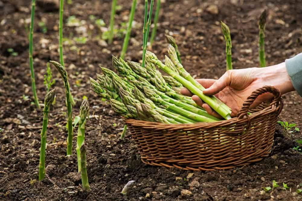 A close look at asparagus being harvested.