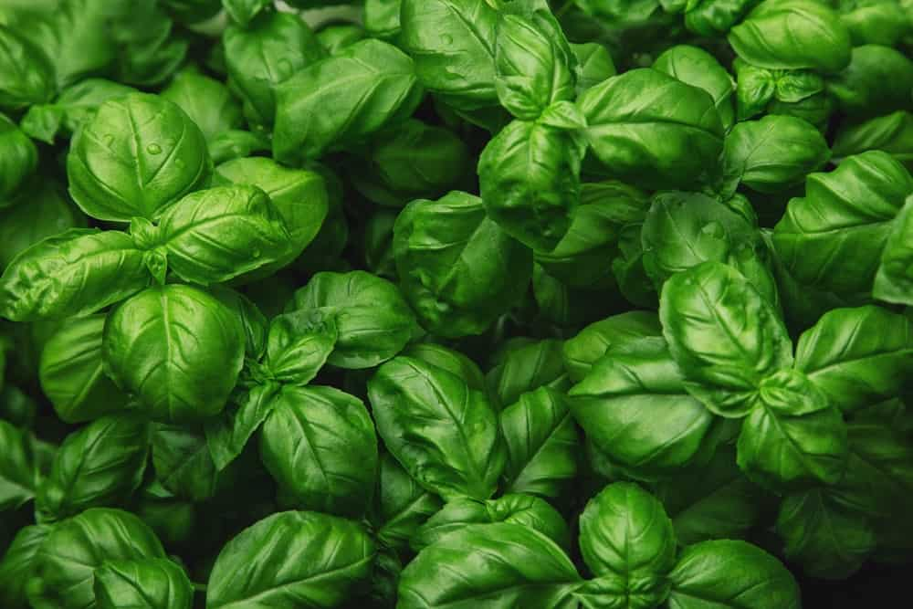 This is a close look at fresh basil leaves.