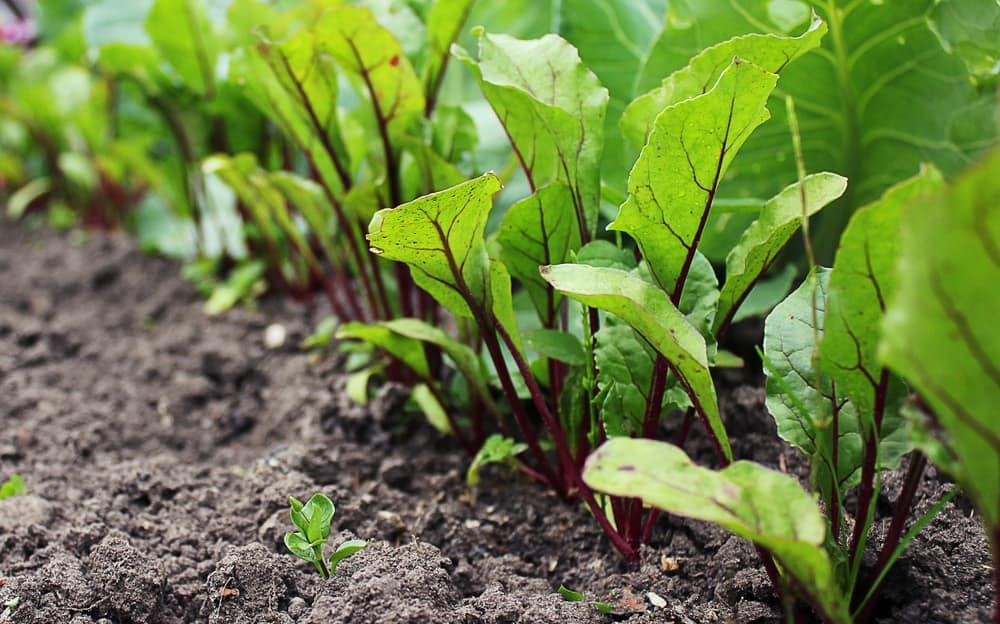 A close look at a bunch of fresh beet root leaves.