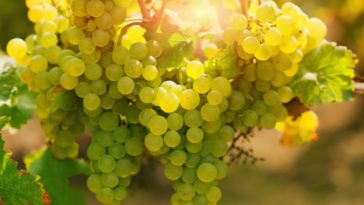 A close look at clusters of ripe Riesling grapes.