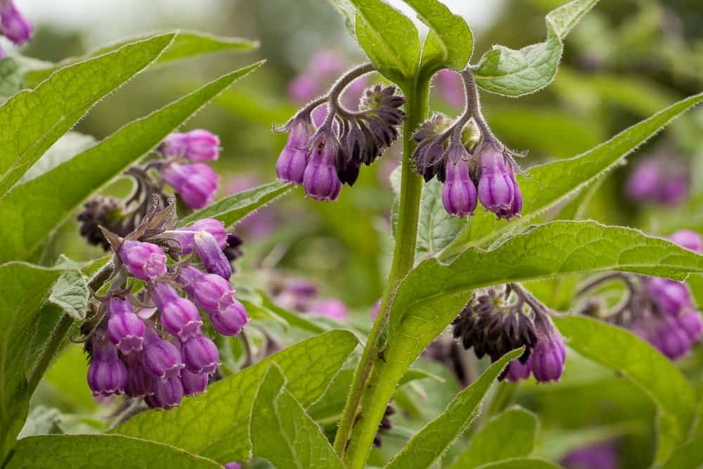 A close look blooming purple comfrey.