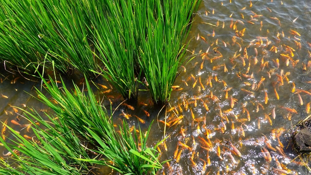 A school of fish in a rice paddy.