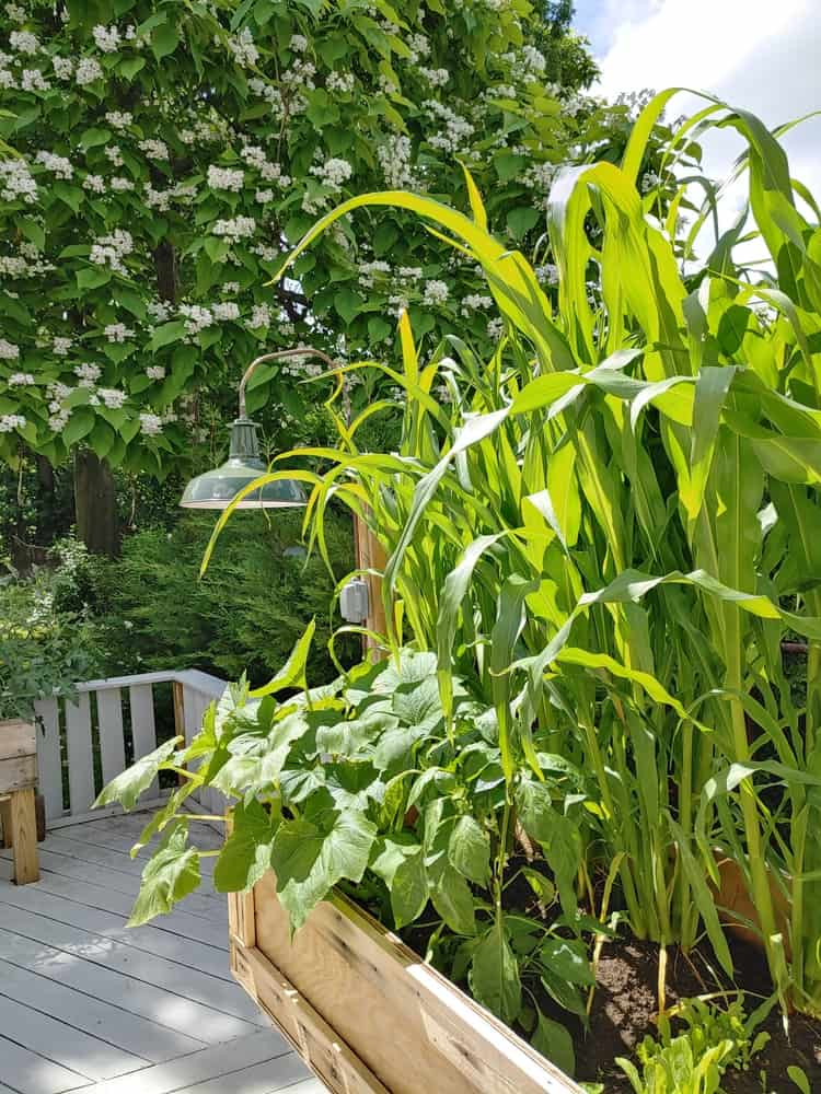 A planter garden with corn and squash.