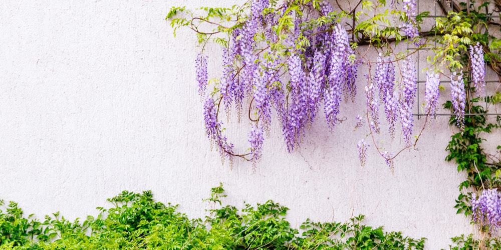 Clusters of flowering wisteria plants at a garden.