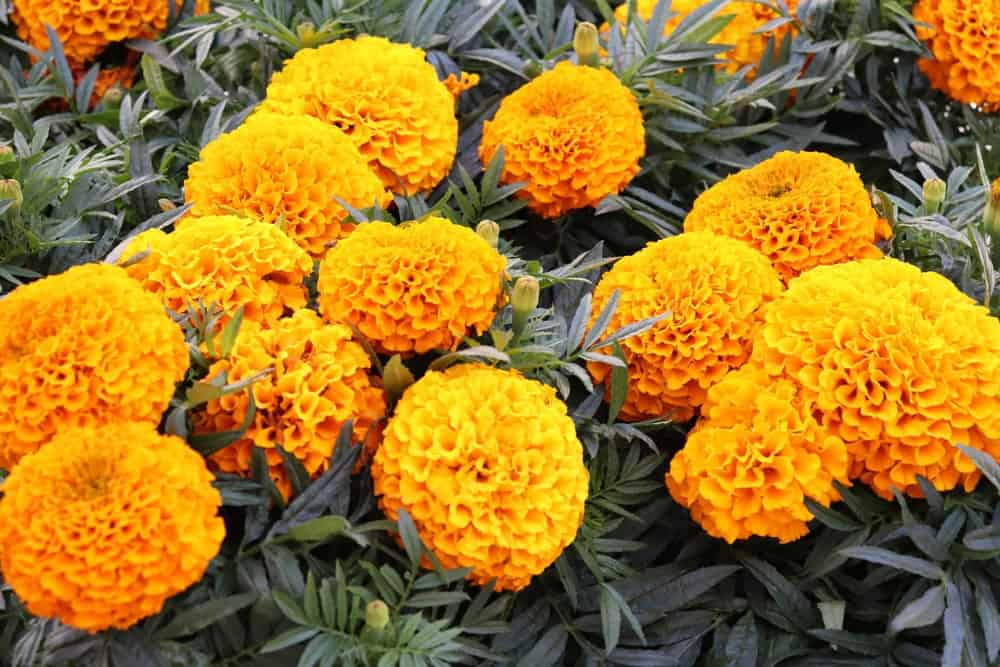 Clusters of large yellow orange flowers.