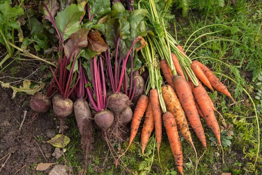 A look at freshly-harvested root crops.