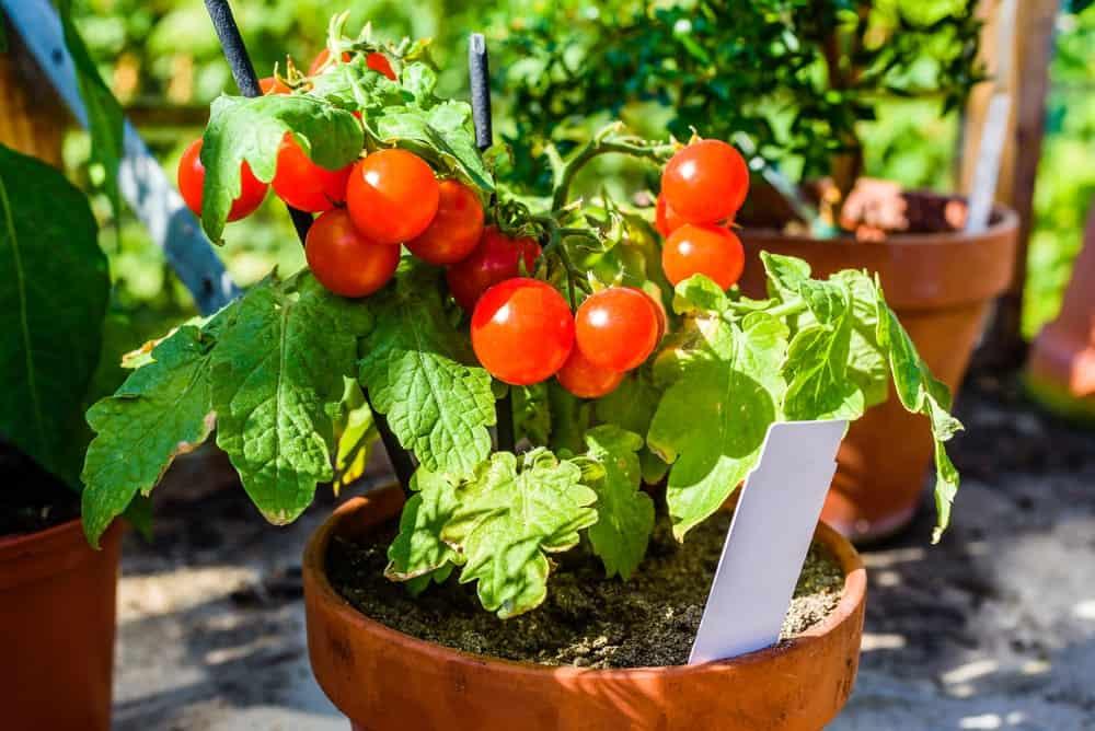 A close look at a tomato plant at a clay pot.