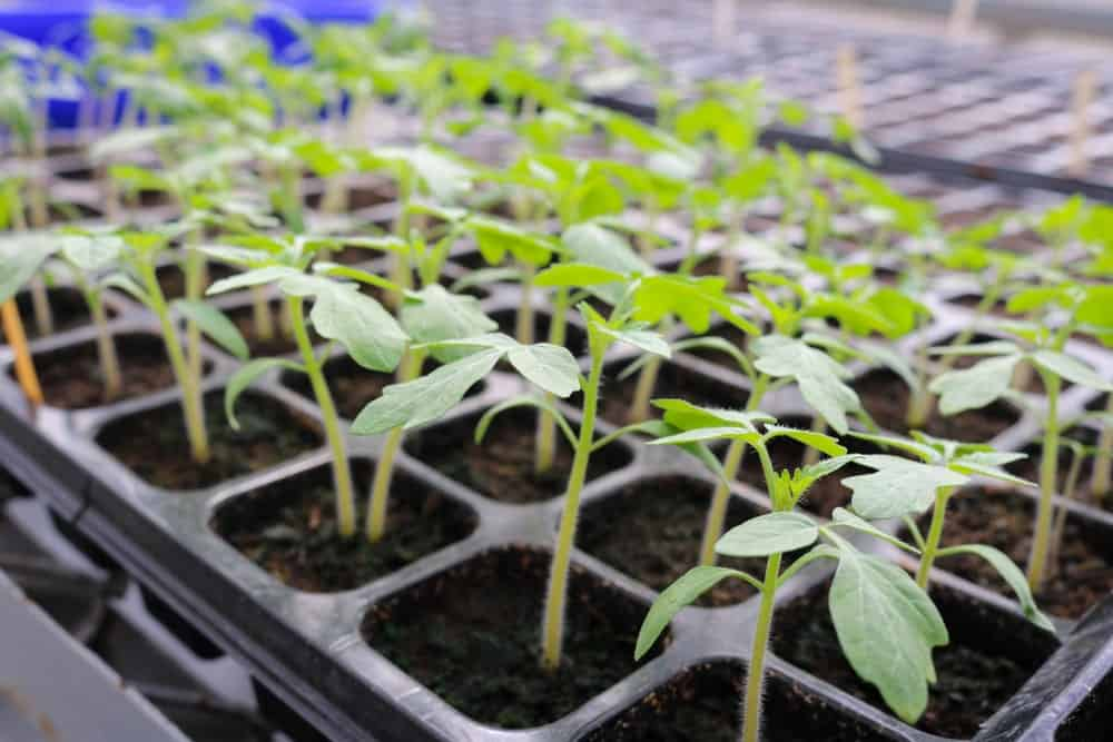 A look at tomato seedlings.