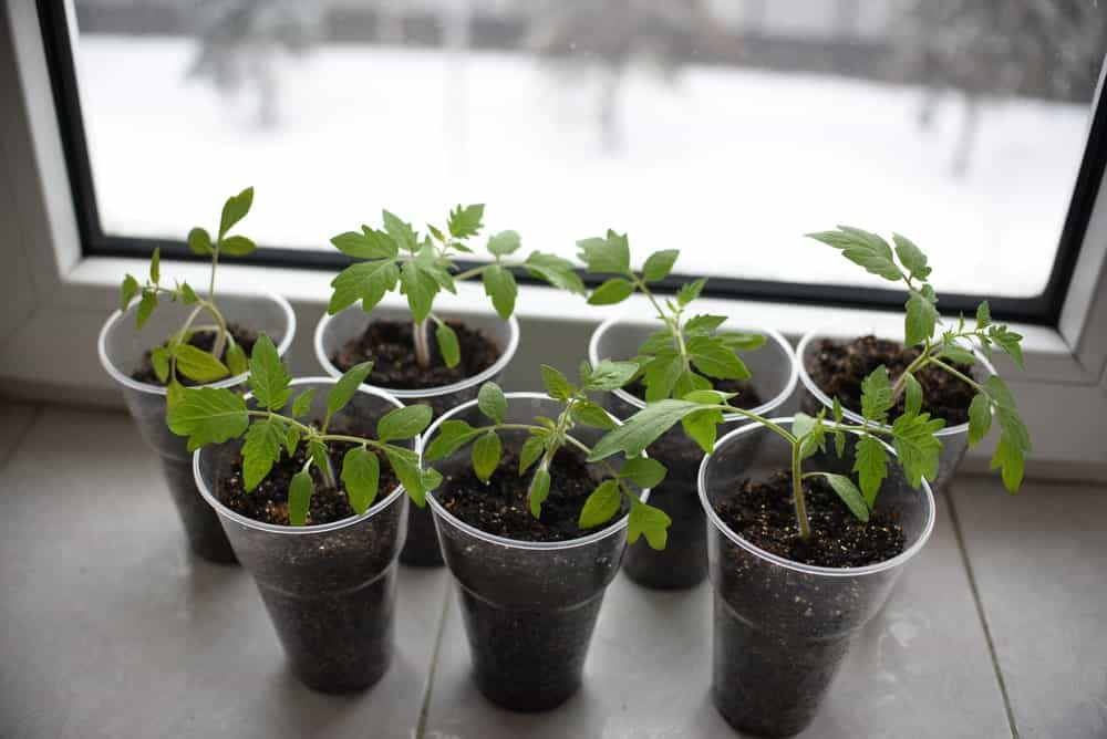 Potted tomato seedlings next to window.
