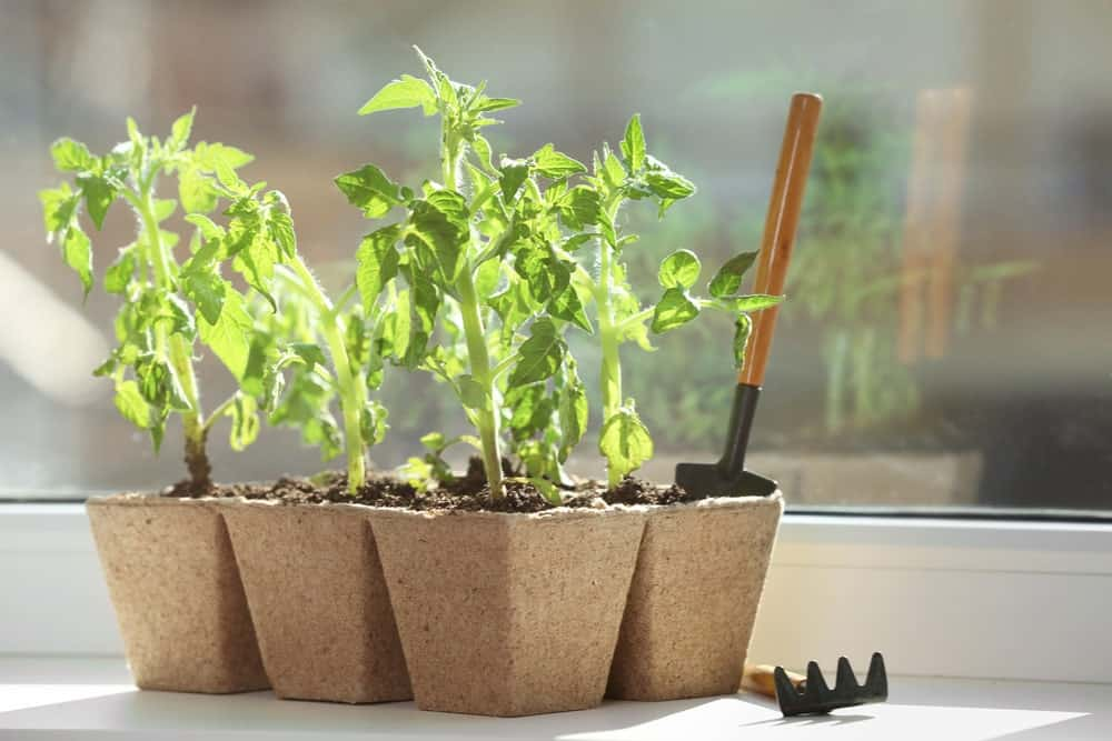 Small potted tomato seedlings by the window.
