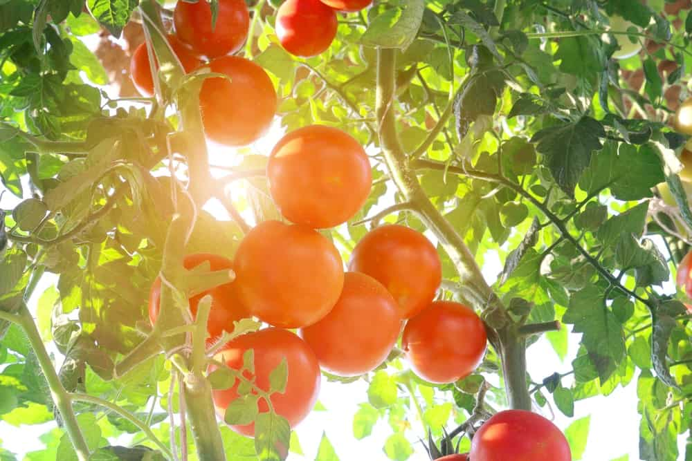 This is a close look at organic ripe tomatoes.