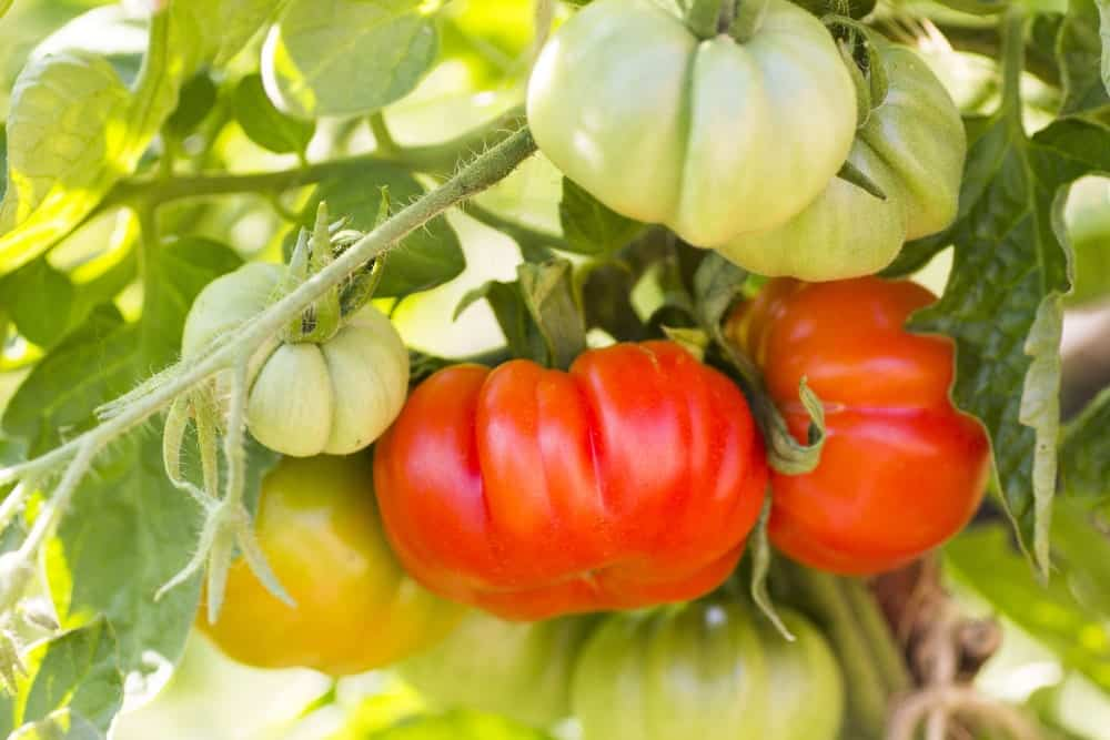 A close look at a couple of ripe beefsteak tomatoes.