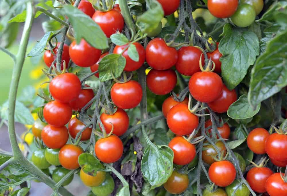 A look at clusters of sweet million tomatoes.